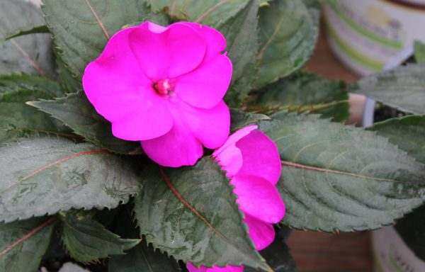 Impatiens, Sunpatiens 'Compact Purple'