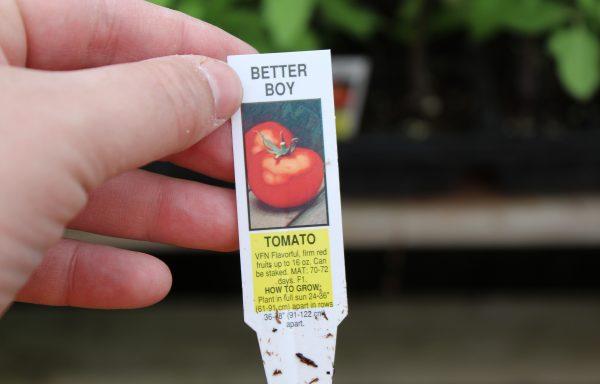 Tomato 'Better Boy' (F1)
