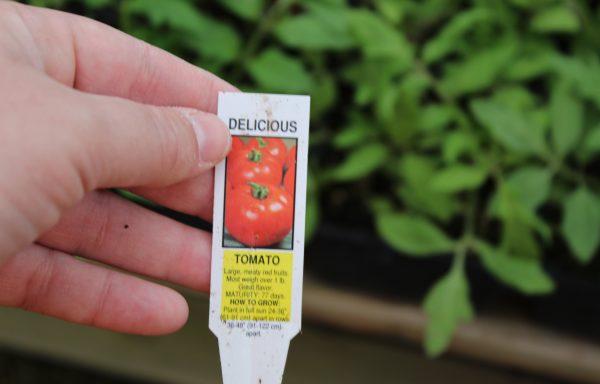 Tomato 'Delicious'
