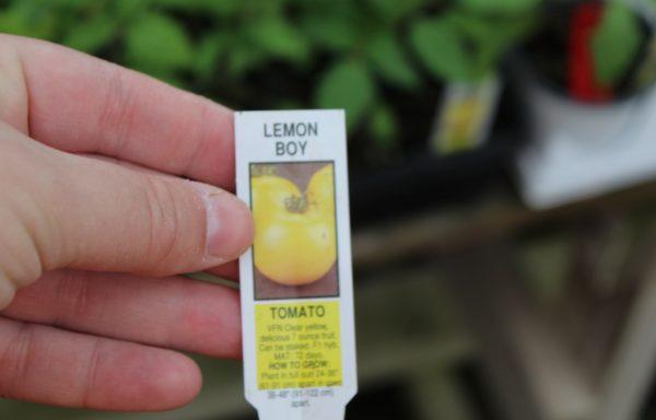 Tomato 'Lemon Boy' (F1)