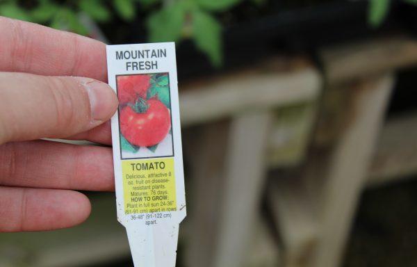 Tomato 'Mountain Fresh Plus' (F1)