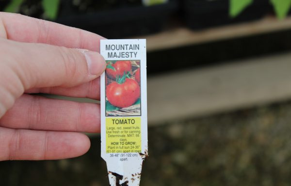 Tomato 'Mountain Majesty Hybrid' (F1)