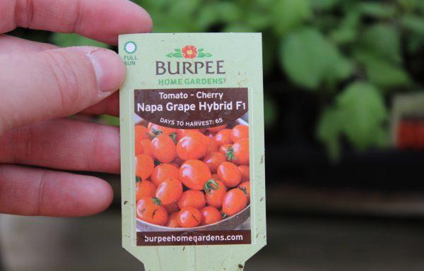 Tomato 'Napa Grape' (F1)
