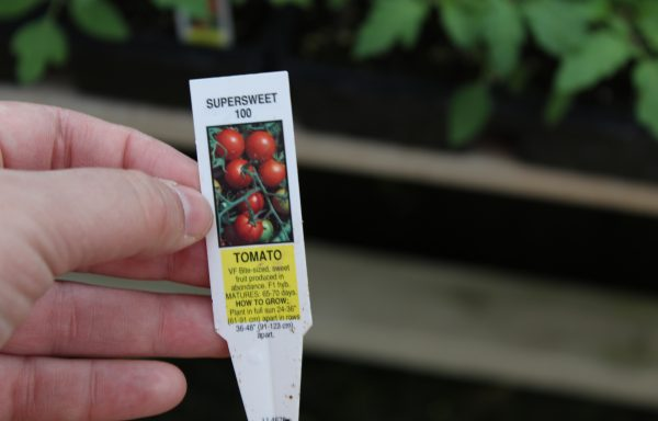 Tomato 'Super Sweet 100' (F1)