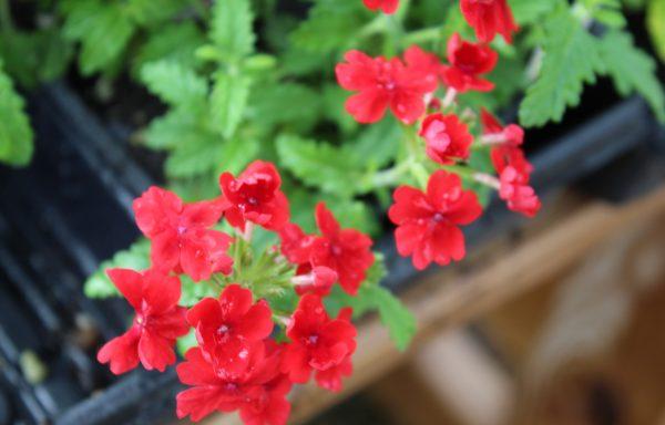 Verbena, Quartz 'Scarlet'