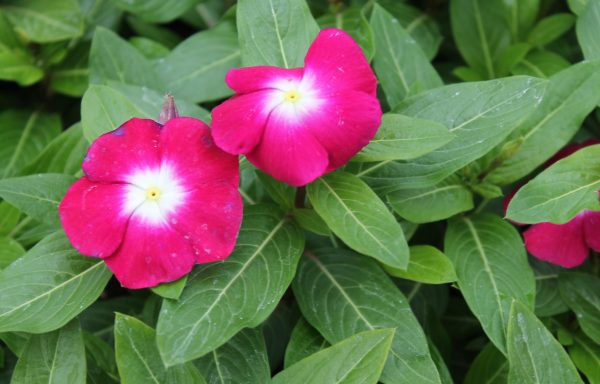 Vinca, Pacifica XP 'Burgundy Halo' (AAS Winner)
