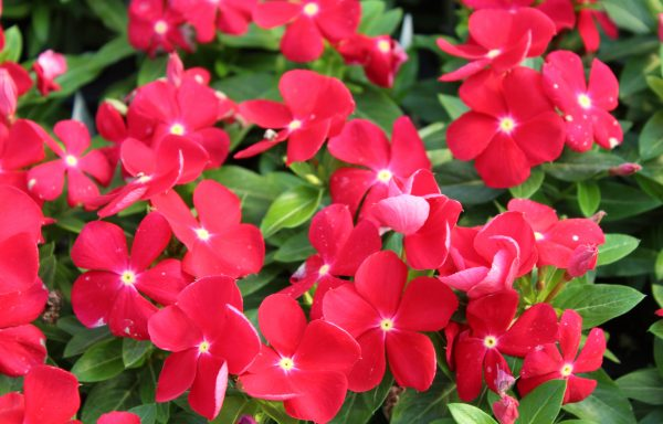 Vinca, Titan 'Really Red'