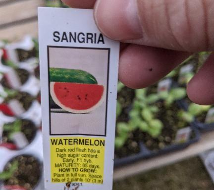 Watermelon 'Sangria'