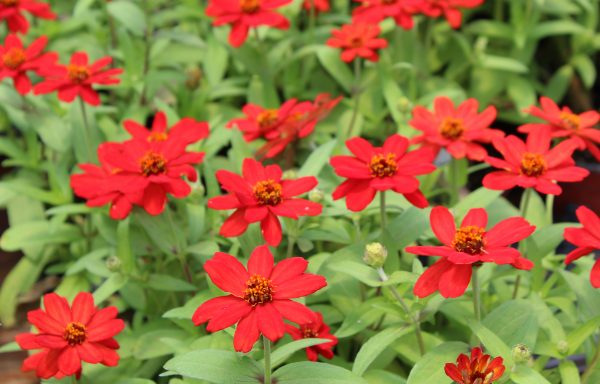 Zinnia, Profusion 'Red' – (AAS Winner)