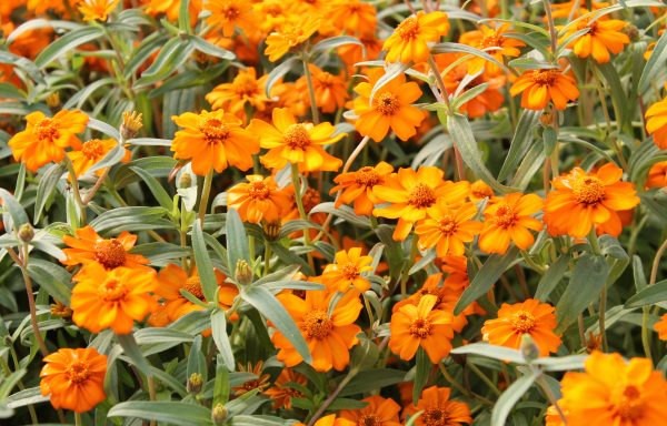 Zinnia, Star 'Orange'