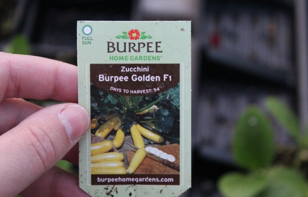 Zucchini 'Burpee Golden'