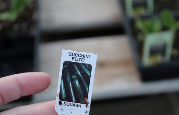 Zucchini 'Elite'