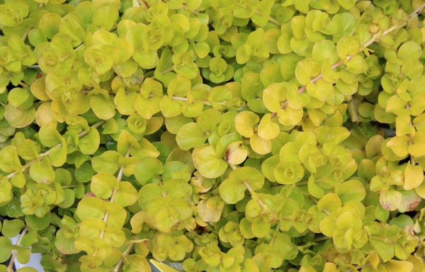 Creeping Jenny 'Golden'