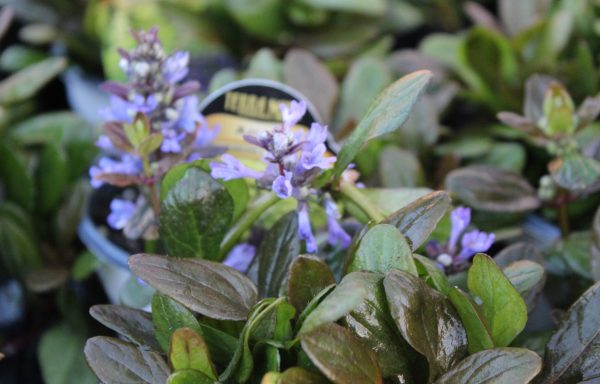 Bugleweed 'Blueberry Muffin'