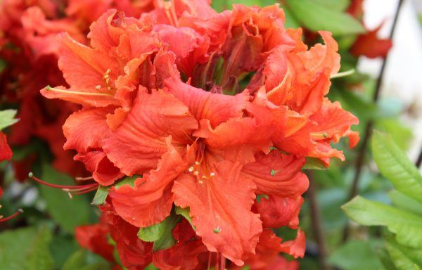 Azalea, Deciduous 'Red Demon'