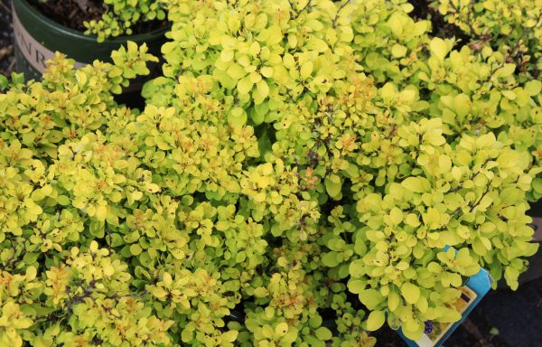 Barberry 'Golden Jackpot'