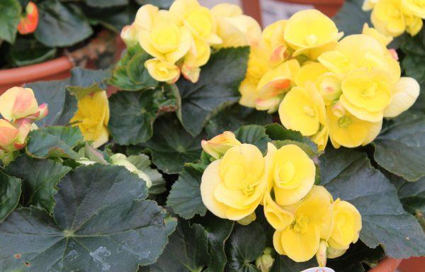 Begonia, Elatior 'Blitz'