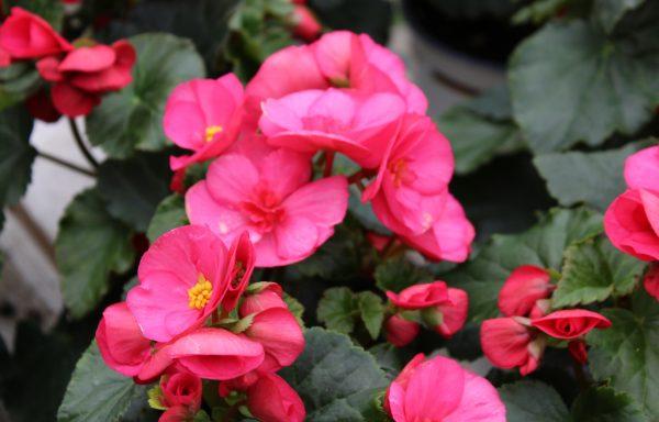 Begonia, Elatior 'Evi Bright Pink'