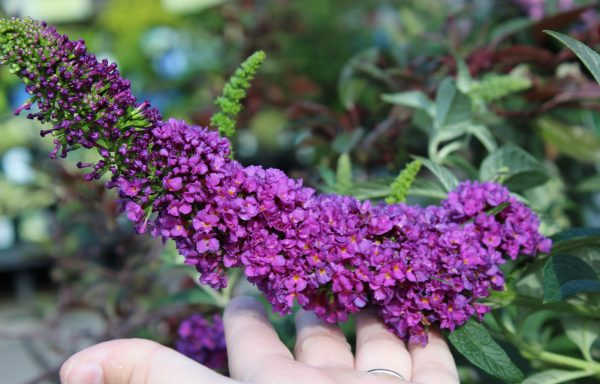 Butterfly Bush 'Miss Violet'