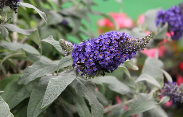 Butterfly Bush, Pugster 'Blue'
