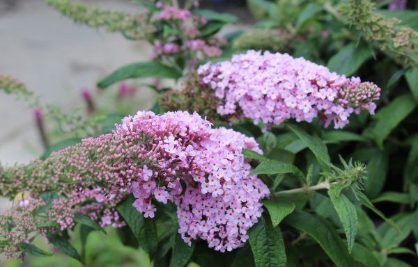 Butterfly Bush, Pugster 'Pink'
