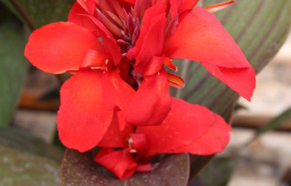 Canna, Cannova 'Bronze Leaf Scarlet'