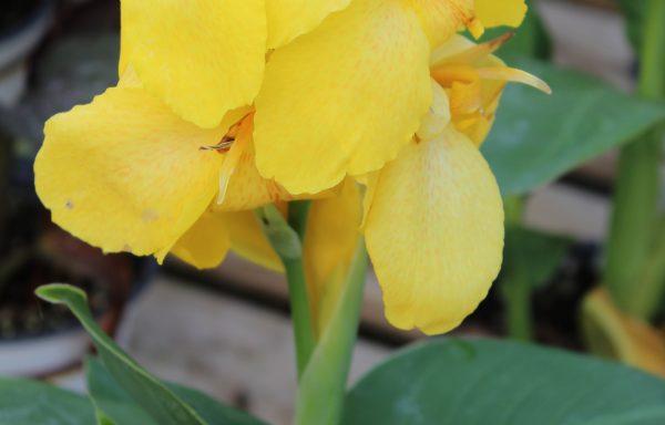 Canna, Cannova 'Yellow'
