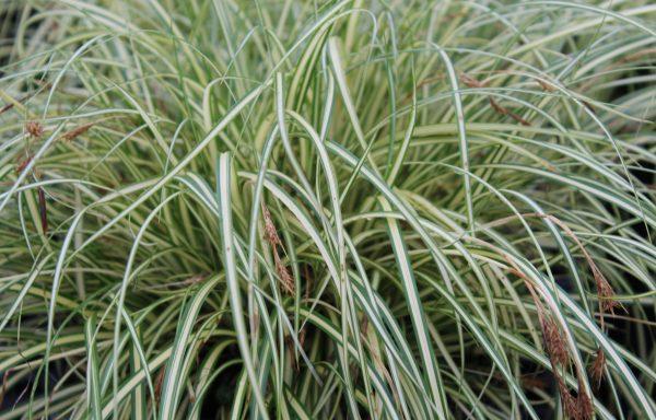 Grass, Sedge 'EverColor® Everoro'