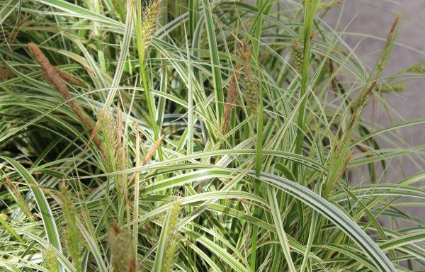 Grass, Sedge 'Feather Falls'