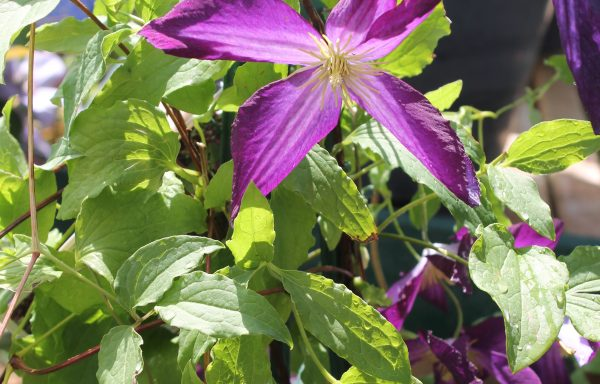 Clematis, Happy Jack® 'Purple'