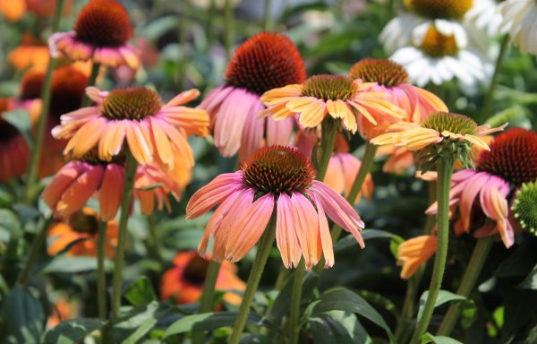 Coneflower, Butterfly™ 'Rainbow Marcella'