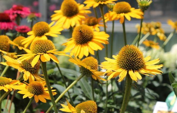 Coneflower, Kismet® 'Yellow'