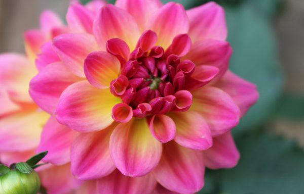 Dahlia, Hypnotica 'Rose Bicolor