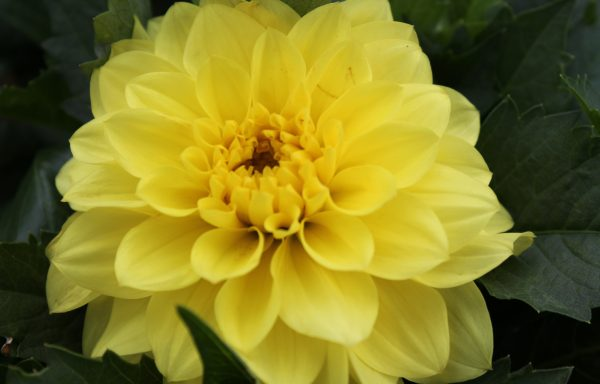 Dahlia, Hypnotica 'Yellow'