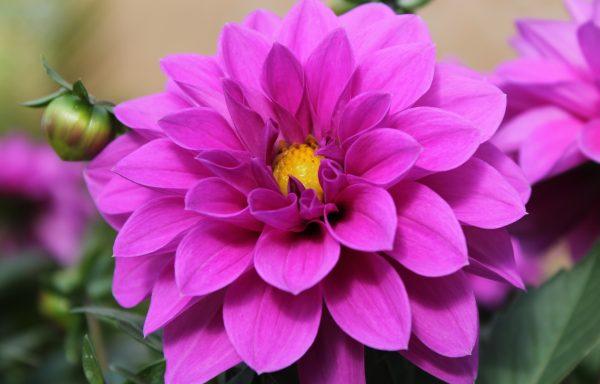Dahlia, Hypnotica 'Lavender'