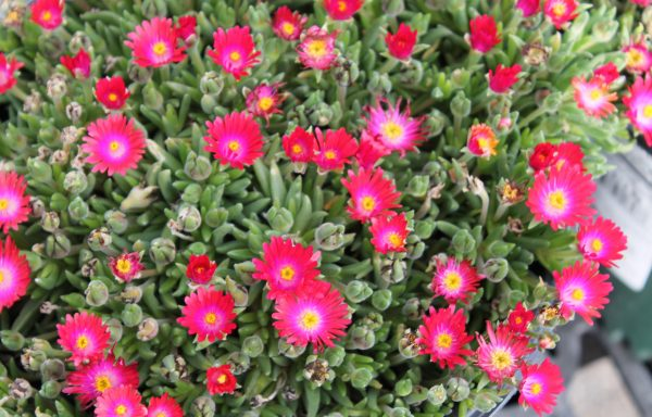 Ice Plant, Jewel Of Desert 'Garnet'
