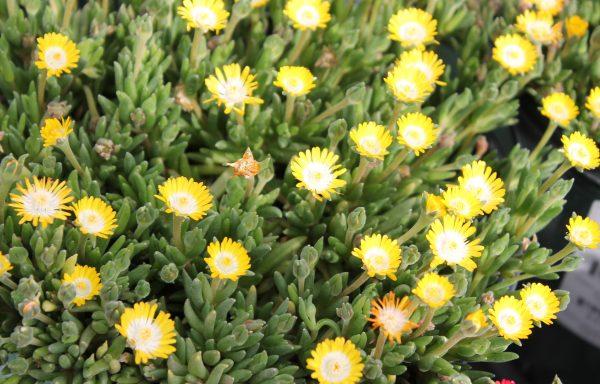 Ice Plant, Jewel Of Desert 'Peridot'
