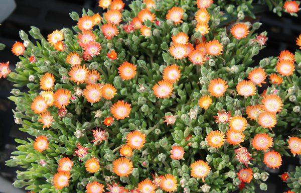 Ice Plant, Jewel Of Desert 'Topaz'