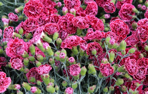 Dianthus, Fruit Punch® 'Cherry Vanilla'