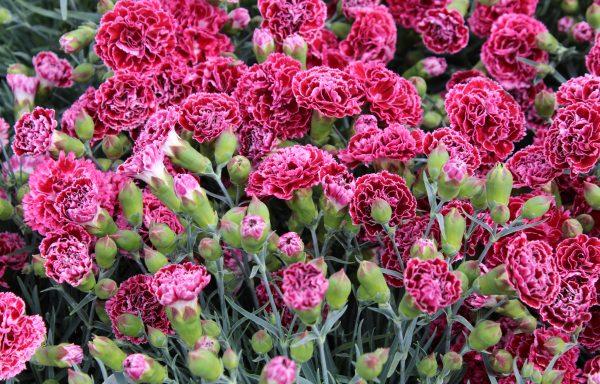 Dianthus, Fruit Punch® 'Cherry Vanilla'