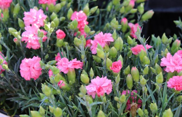 Dianthus, Fruit Punch® 'Classic Coral'