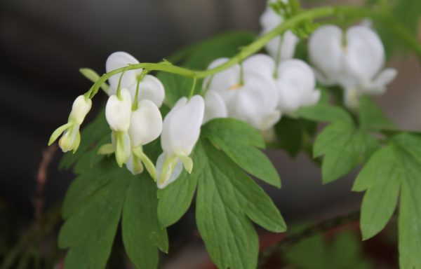Bleeding Heart 'Common'