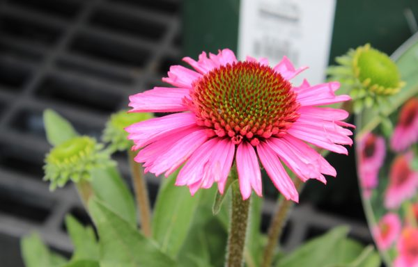 Coneflower 'Delicious Candy'