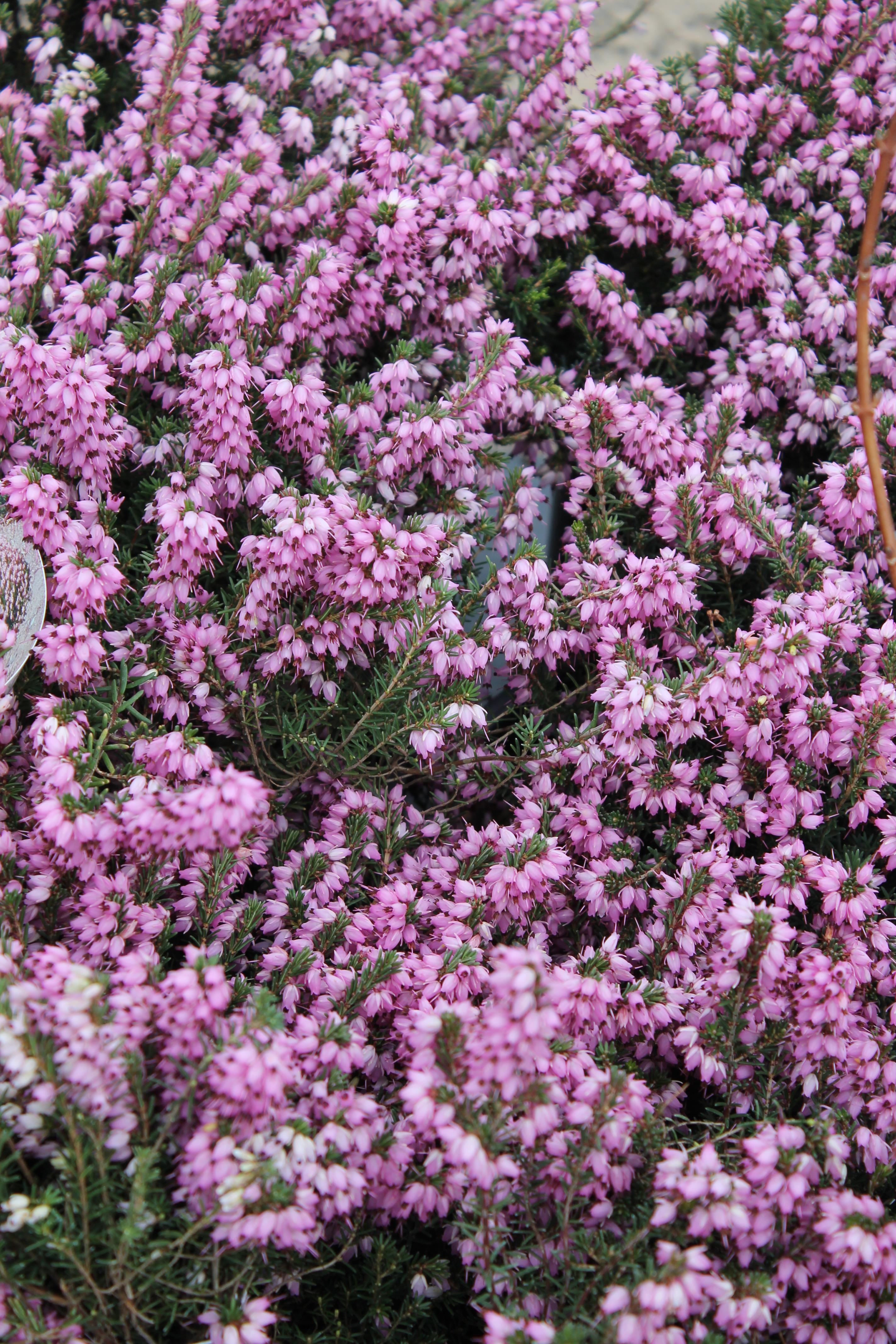 Erica mediterranean pink wilsons garden center erica mediterranean pink mightylinksfo
