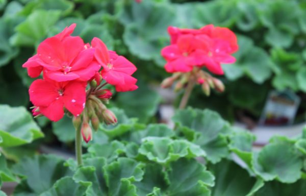 Geranium, Zonal 'Americana Dark Red'