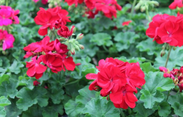 Geranium, Ivy 'Calliope Large Dark Red'