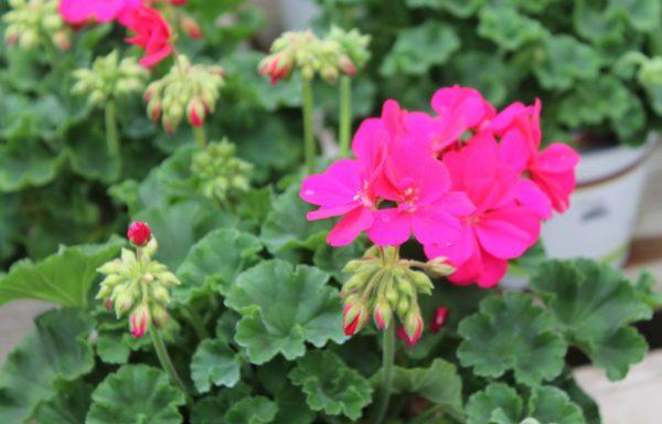 Geranium, Ivy 'Calliope Hot Pink'