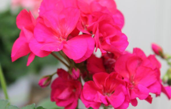 Geranium, Zonal 'Americana Cherry Rose'