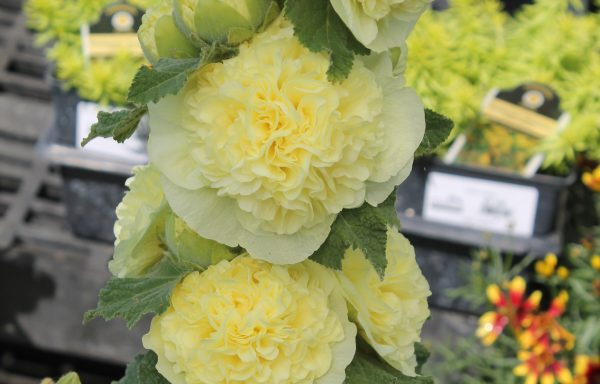 Hollyhock, Chater's 'Double Yellow'