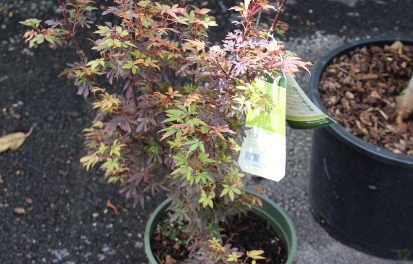 Maple, Japanese 'Shaina'
